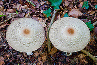 Two mushrooms, side by side, in a Swiss forest.