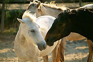 Black and white horses in La Camargue, Provence, France