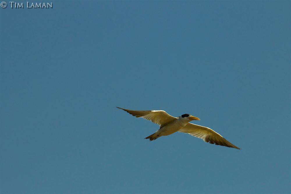 A Large-billed Tern (Phaetusa simplex) flying though the clear blue sky.