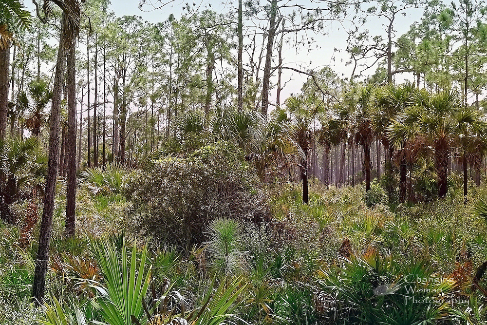 Drier areas of Corkscrew Swamp provide perfect habitat for palm and pine trees and the hidden birds and animals that rely on such woods for food and shelter.