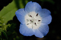 Baby Blue Eyes (Nemophila phacelioides), Travis County, Texas