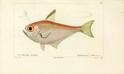 Pempheris from Histoire naturelle des poissons (Natural History of Fish) is a 22-volume treatment of ichthyology published in 1828-1849 by the French savant Georges Cuvier (1769-1832) and his student and successor Achille Valenciennes (1794-1865).