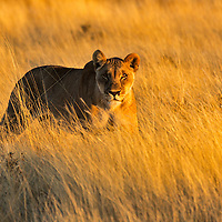 Morning light turns the tall grass to lemon gold. Perfect camouflage for a stalking lion.