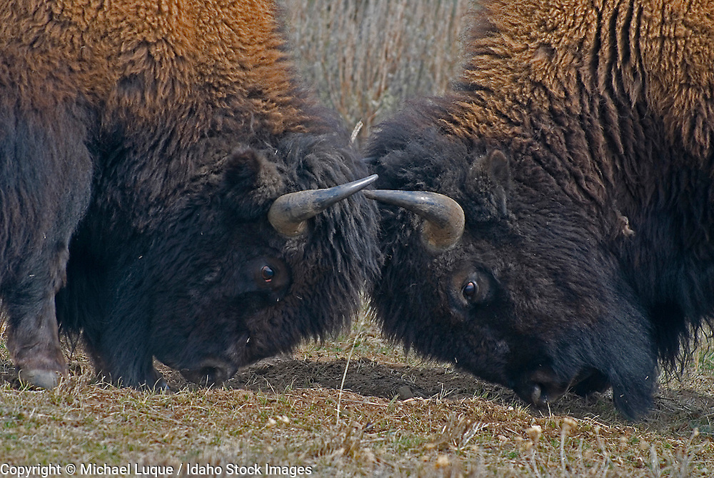 Young bison sparring in Yellowstone NP
