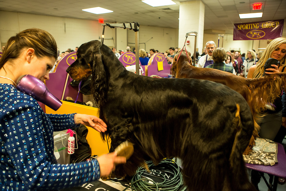 New York, NY - 16 February 2016. A woman with a hair dryer tucked onto her shoulder grooms her Gordon setter prior to the evening competition at the 140th Westminster Kennel Club Dog show in Madison Square Garden.