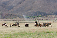Tule Elk (Cervus elaphus nannodes)  bull among his harem with sprinklers running on a large field along Highway 395 - Owens Valley, California