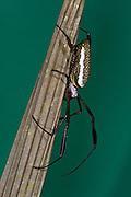 Golden Silk Spider (Nephila clavipes)<br /> Yasuni National Park, Amazon Rainforest<br /> ECUADOR. South America<br /> HABITAT & RANGE: South American Neotropics north to semi-tropical se USA