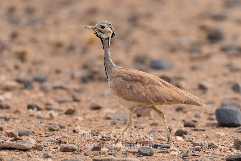 A Ruppell's korhaan walks across dry open desert, Namib-Naukluft National Park, Namibia.