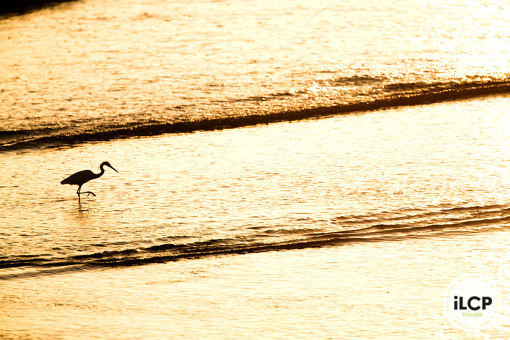 Western Reef Heron (Egretta gularis) wading in surf, Hawf Protected Area, Yemen
