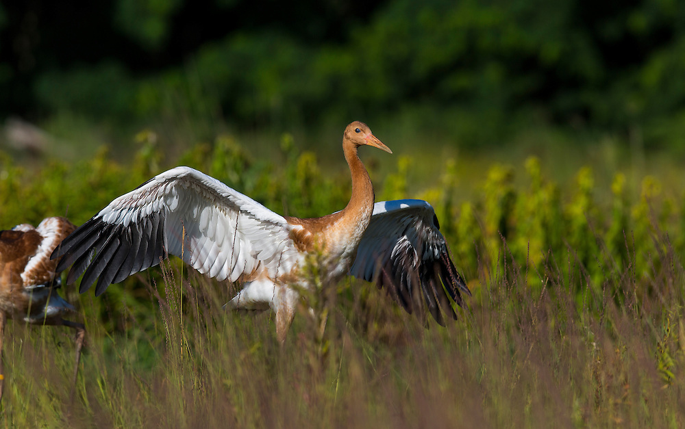 A juvenile Whooping Crane shows off its feathers.