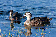 The grey duck Anas superciliosa superciliosa has worsened from 'nationally endangered' to 'nationally critical'.  The grey duck population is diminishing because of hybridisation with non-indigenous mallard duck Anas platyrhynchos platyrhynchos.