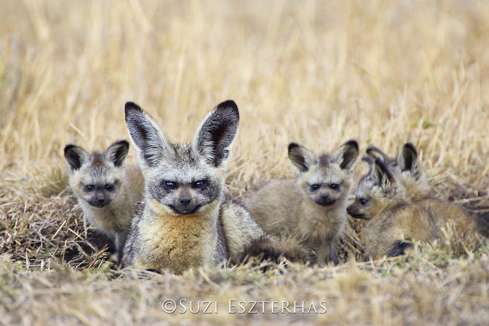 Bat-eared fox<br /> Otocyon megalotis<br /> Masai Mara Conservancy, Kenya