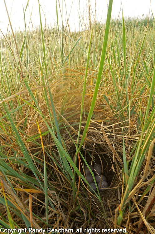 Western meadowlark nest on the Great Plains of Montana at American Prairie Reserve. South of Malta in Phillips County, Montana.