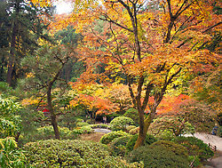 Autumn brings changing color to the Strolling Pond garden at Portland's famous Japanese Tea Garden.<br /> Here a couple wallks under a canopy of brilliant red and gold leaves.