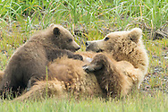 Grizzly Sow Nursing Baby Cub in Meadow, Lake Clark National Park, Alaska