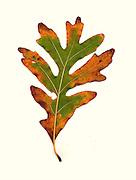 Fall leaf southeastern Ohio,white oak, underside of leaf