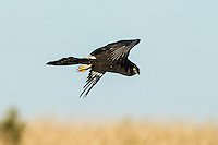 Black Harrier hunting in hovering flight, Gondwana Game Reserve, Western Province, South Africa
