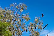 Spectacled Flying-fox bats roosting, Port Douglas, Queensland, Australia