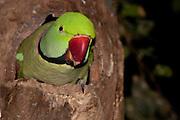 Alexandrine Parrot in tree cavity nest