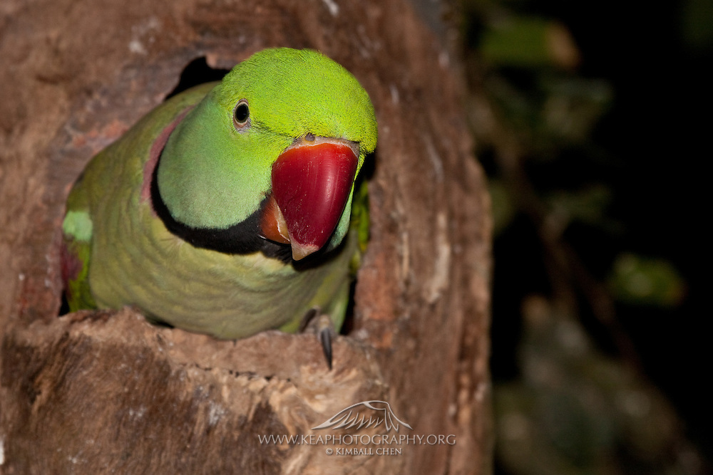 Alexandrine Parrot in tree cavity nest