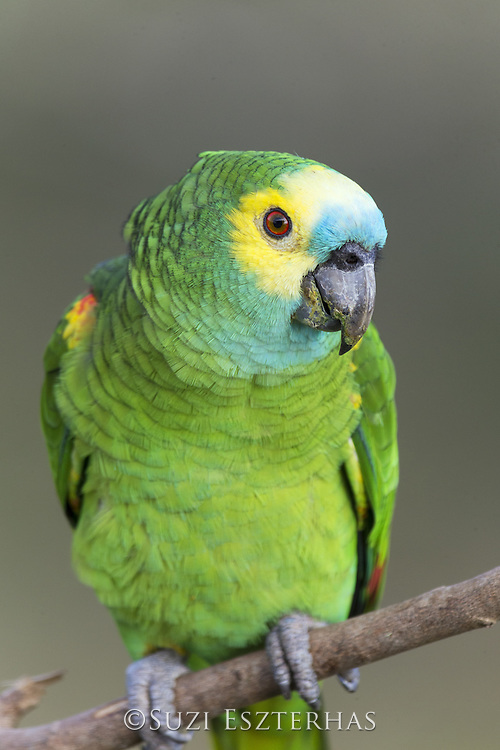 Blue-fronted Parrot <br /> Amazona aestiva<br /> Pantanal, Brazil