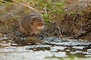 Water Vole (Arvicola terrestris) adult on bank of stream, Norfolk, UK.