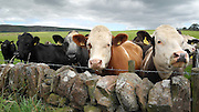 Beef Cattle look over drystone wall.