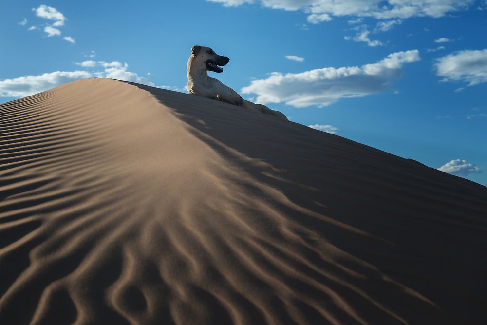 A Sloughi dog (Arabian greyhound) rests in the sand dunes in the Sahara desert of Morocco.
