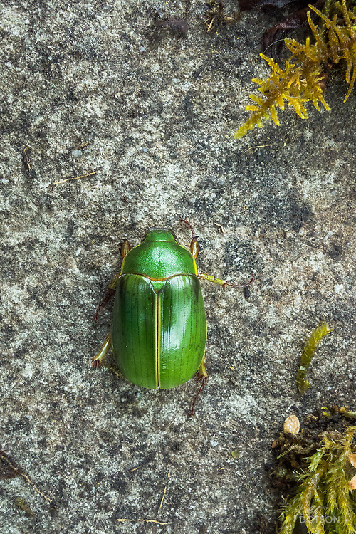 Matuka Beetle