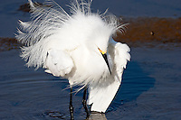 Snowy Egret with Ruffled Feathers at Bolsa Chica Wetlands Ecological Reserve, Huntington Beach, California