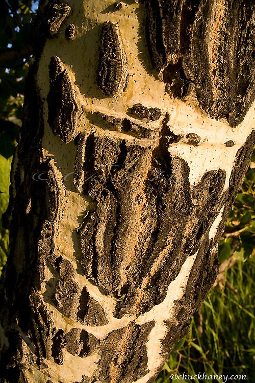 Scars on quaking aspen trunks in Glacier National Park in Montana