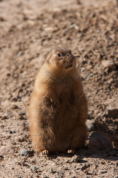 Prairie Dog sitting atop a mound