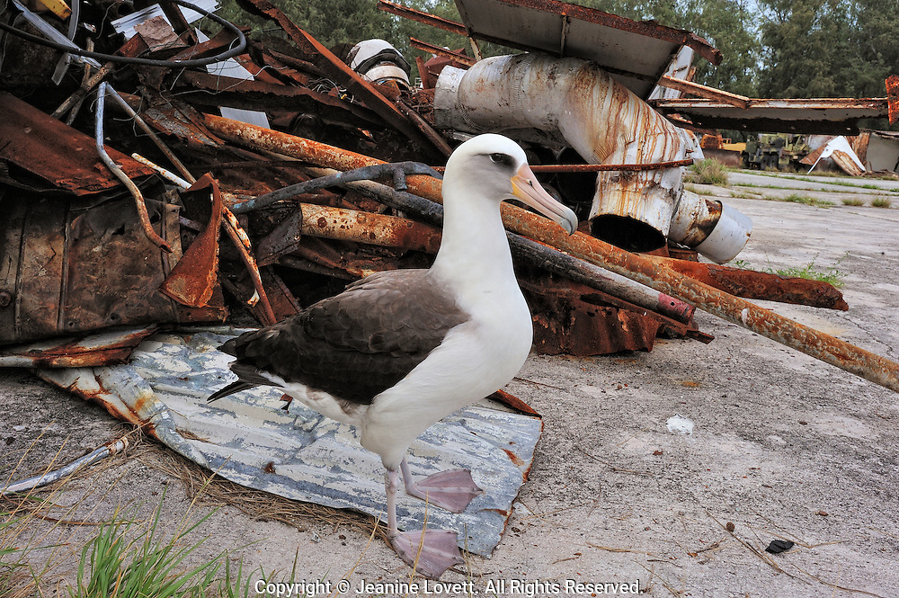 Layson albatross, Phoebastria immutabilis. Midway Island. There is no budject to remove junk left by the military.
