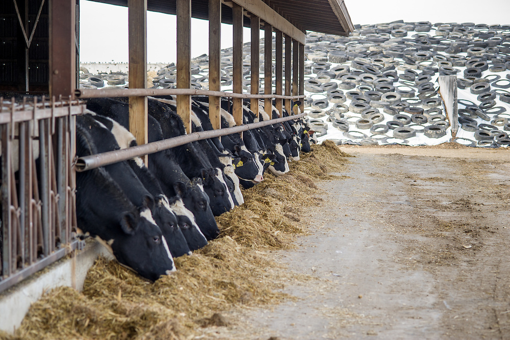 A line of cows eating feed<br /> Ridgely, Maryland