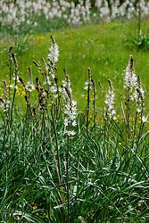 Witte affodil, Asphodelus albus