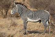 Huge maile grevy's sebra (Equus grevyi) from Samburu National Reserve, Kenya.