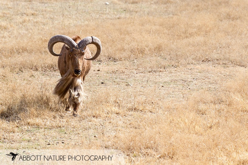 Aoudad (Ammatragus lervia)<br /> TEXAS: Somervell Co.<br /> Fossil Rim Wildlife Center<br /> J.C. Abbott &amp; K.K. Abbott