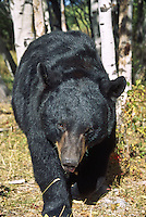 Black Bear (Ursus americanus).  Their color ranges from black to cinnamon.  Primarily nocturnal, but are often seen during the day.  Males are larger than females.  Targhee National Forest, Idaho.