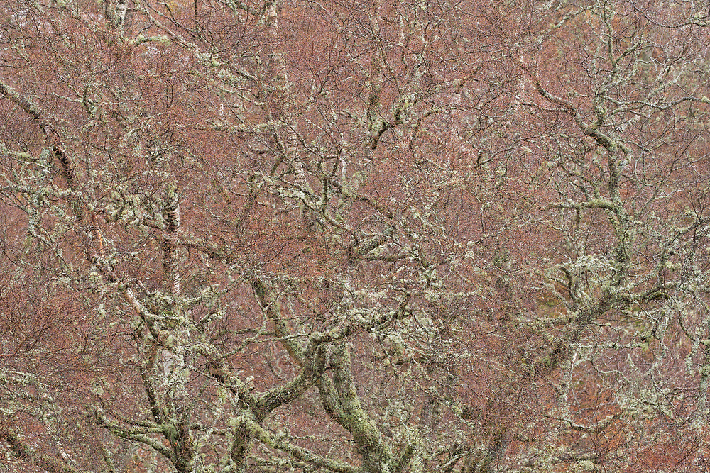 Silver Birch (Betula pendula) tree in late winter showing purple coloured branches, Scotland