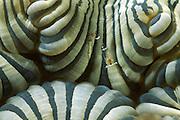 Die Garnele (Virphilippinensis spec.) lebt in Symbiose mit der Weichkoralle   Coral shrimp (Virphilippinensis spec.) on bubble coral