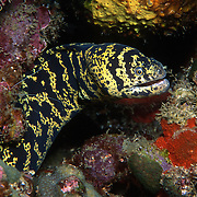 Chain Moray inhabit shallow clearwater reefs and rocky shores; hide during day in recesses with heads extended from openings, in Tropical West Atlantic; picture taken St. Vincent.