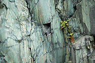 plants cling to the slate walls at The Dinorwic Slate Quarry which dominate the landscape at Llanberis in north Wales.