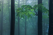 Foggy beech forest in Goats Wall reserve in the spring