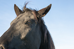 Detail of a black horse