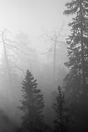 Metsä usvassa: Oulanka - Foggy morning