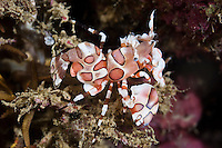Harlequin shrimp, Manokwari, West Papua, Indonesia.