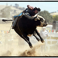 MERRIJIG RODEO<br /> A cowboy competes in the bull riding event at the Merrijig Rodeo.<br /> Picture by Shannon Morris<br /> Copyright Shannon Morris 2004<br /> Saturday 6th March 2004