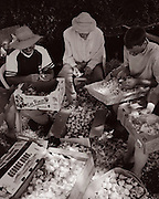 Leading up to a July garlic festival in Murphys, farm volunteers gather to clean and prepare the bulbs for sale and display.