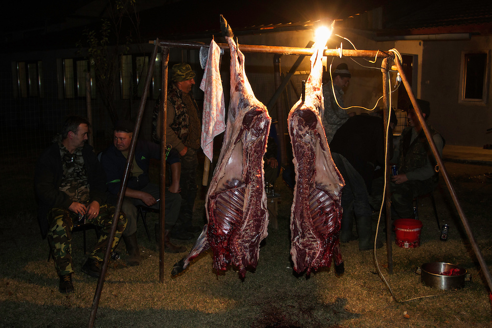 Two halves of freshly skinned and prepared female Wild boar (Sus scrofa) that was shot during a driving hunt in the forest area outside the village of Mehadia, Caras Severin, Romania.