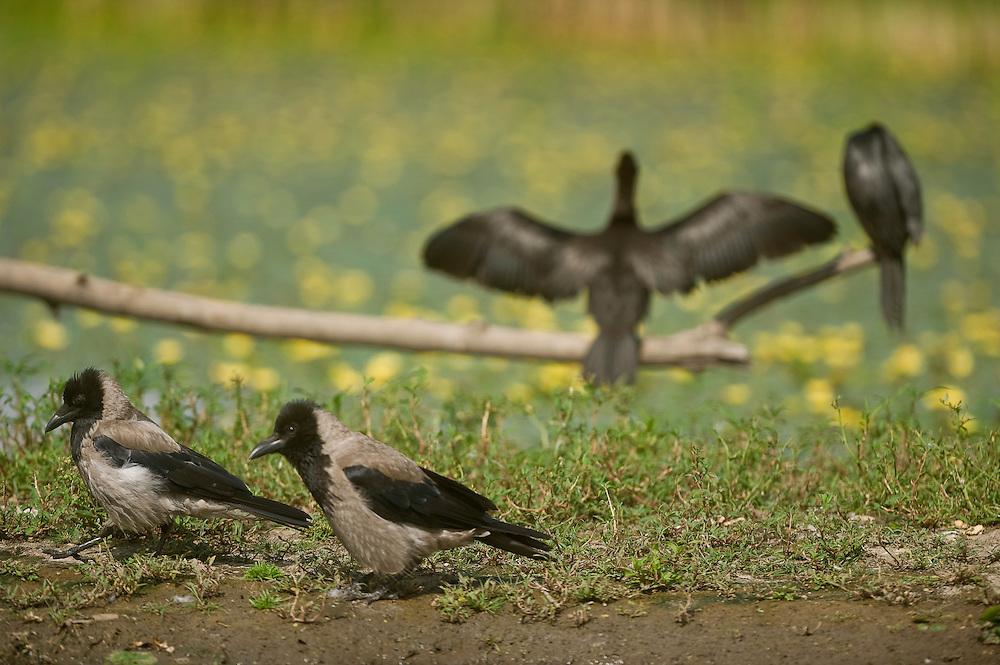 Two Pygmy Cormorant (Phalacrocorax pygmeus)  and two The Hooded Crows (Corvus cornix) on the lake shore in Hortobagy National Park, Hungary